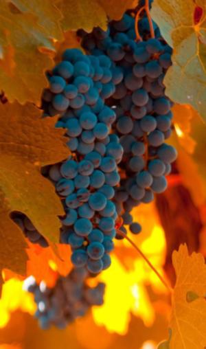 Виноград в осень