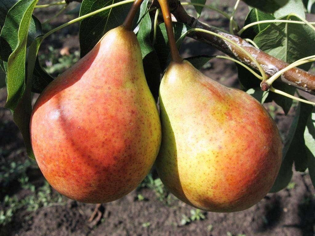 Здоровые плоды груш