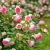 Как правильно дарить розы