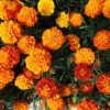 цветы Бархатцы