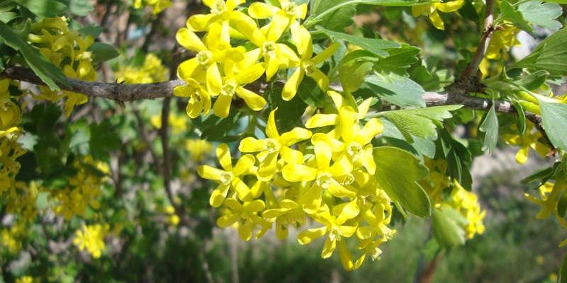 желтоплодная