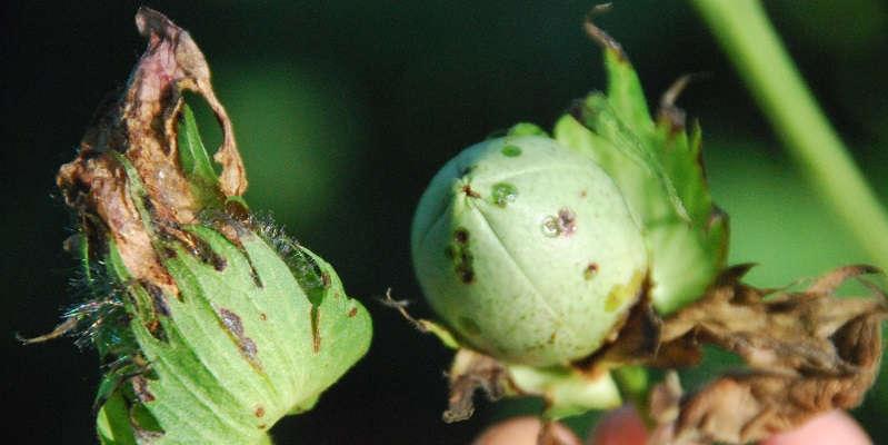 Болезнь на листьях хлопка
