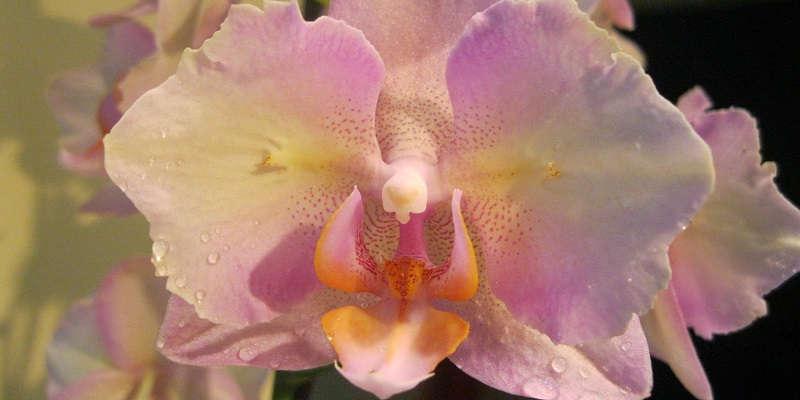 Орхидея бабочка (фаленопсис)