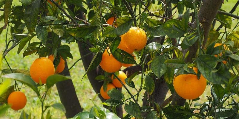 Куст апельсина