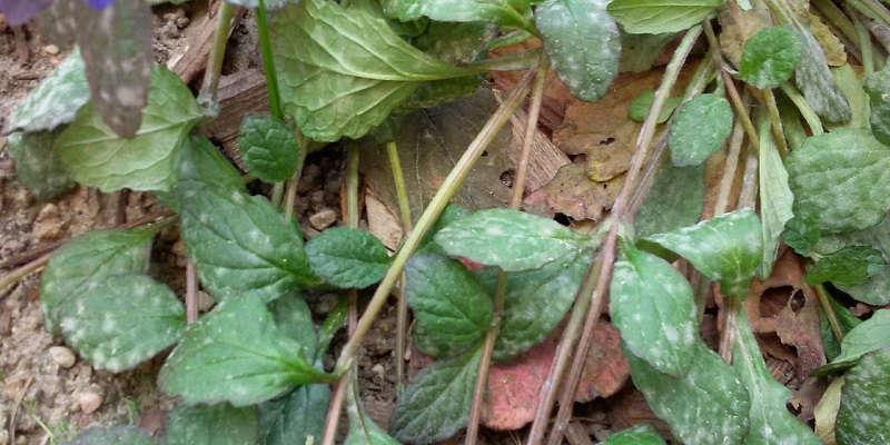 Мучистая роса на мяте