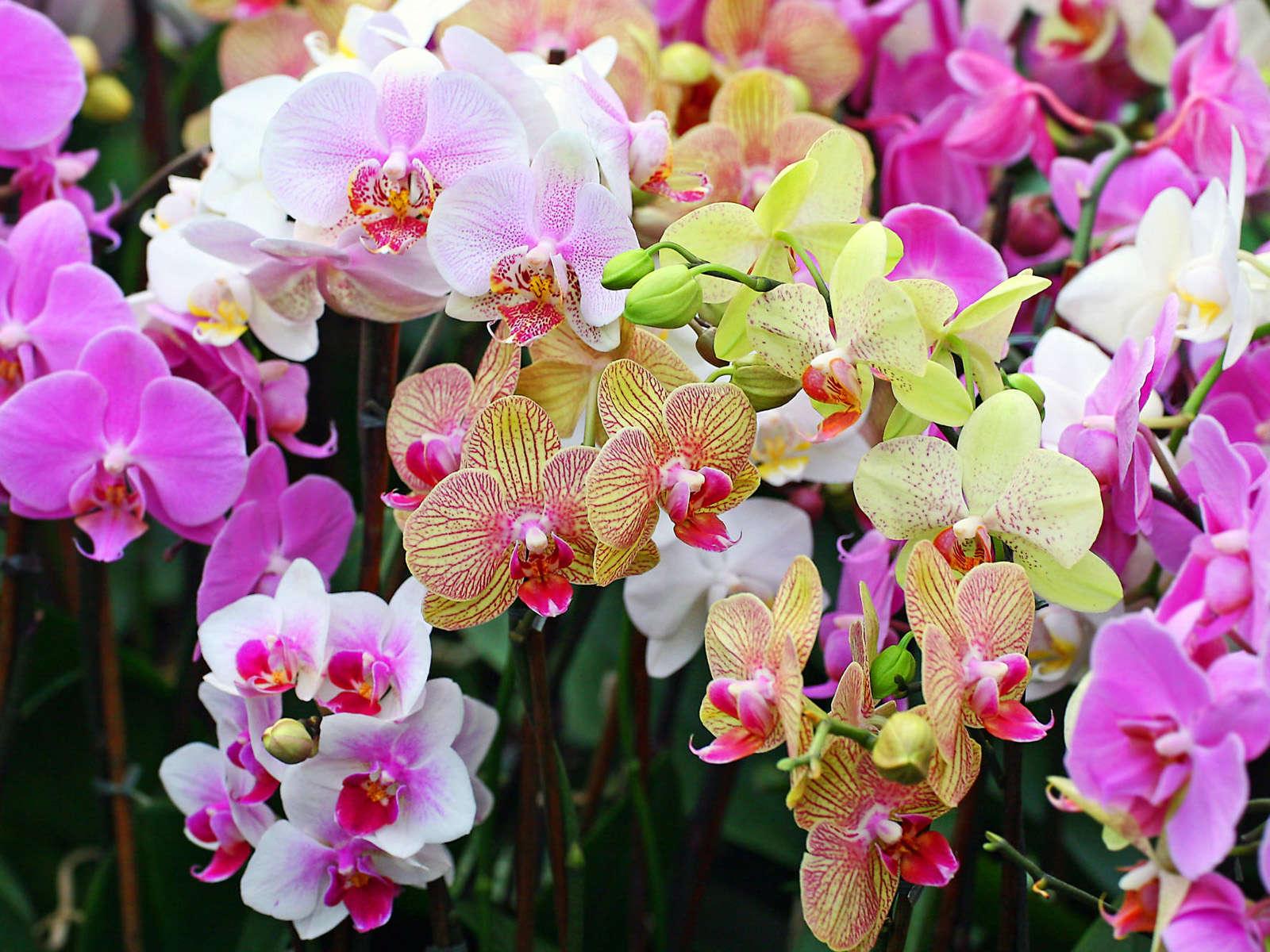 орхидея и уход за ней в картинках способность цветению