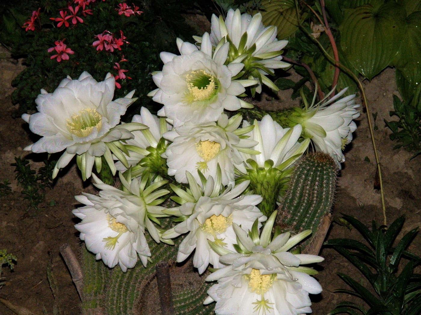 кактусы фото
